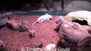 Yearling Crotalus s. scutulatus kills and eats hopper mouse