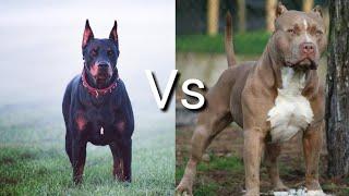 Доберман против Питбулья! КТО СИЛЬНЕЕ? Doberman VS Pitbull! WHO IS STRONGER?