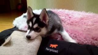 Забавные игры щенка хаски. Схватка с валенком.(, 2016-06-30T16:22:34.000Z)