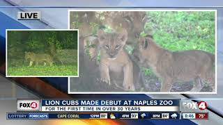 Lion cubs made debut at Naples Zoo