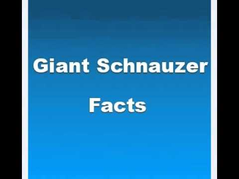 Giant Schnauzer Facts - Facts About Giant Schnauzers