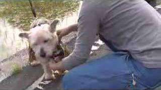 プリンに土佐犬の格好をさせてみました。