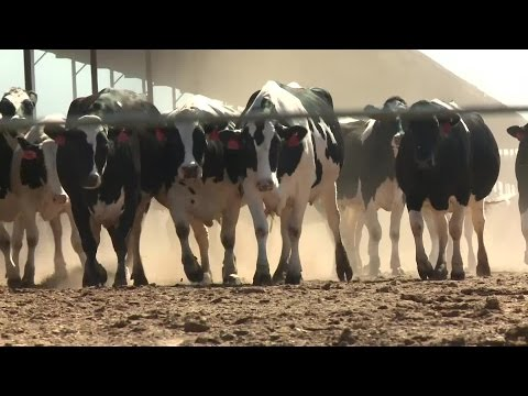 California's Dairy Farms Come With Big Environmental Cost