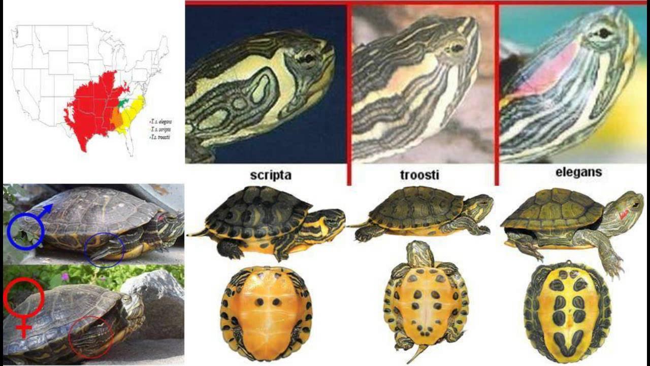 Tortuga japonesa o tortuga de orejas rojas youtube for Bassin exterieur pour tortue de floride