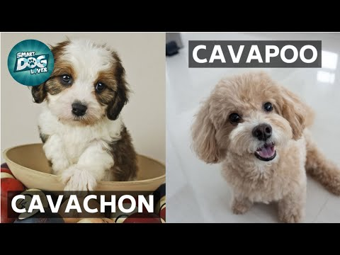 Cavachon VS Cavapoo   These Are the Similarities and Differences Between Cavachon and Cavapoo
