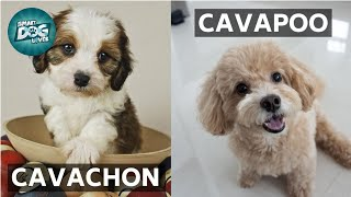 Cavachon VS Cavapoo | These Are the Similarities and Differences Between Cavachon and Cavapoo