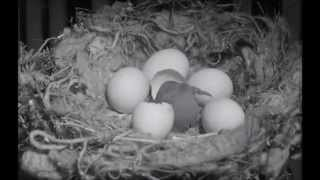 CUARENTENAS LEGENDARIAS - Nacimiento de un canario (El hombre de Alcatraz 1962)