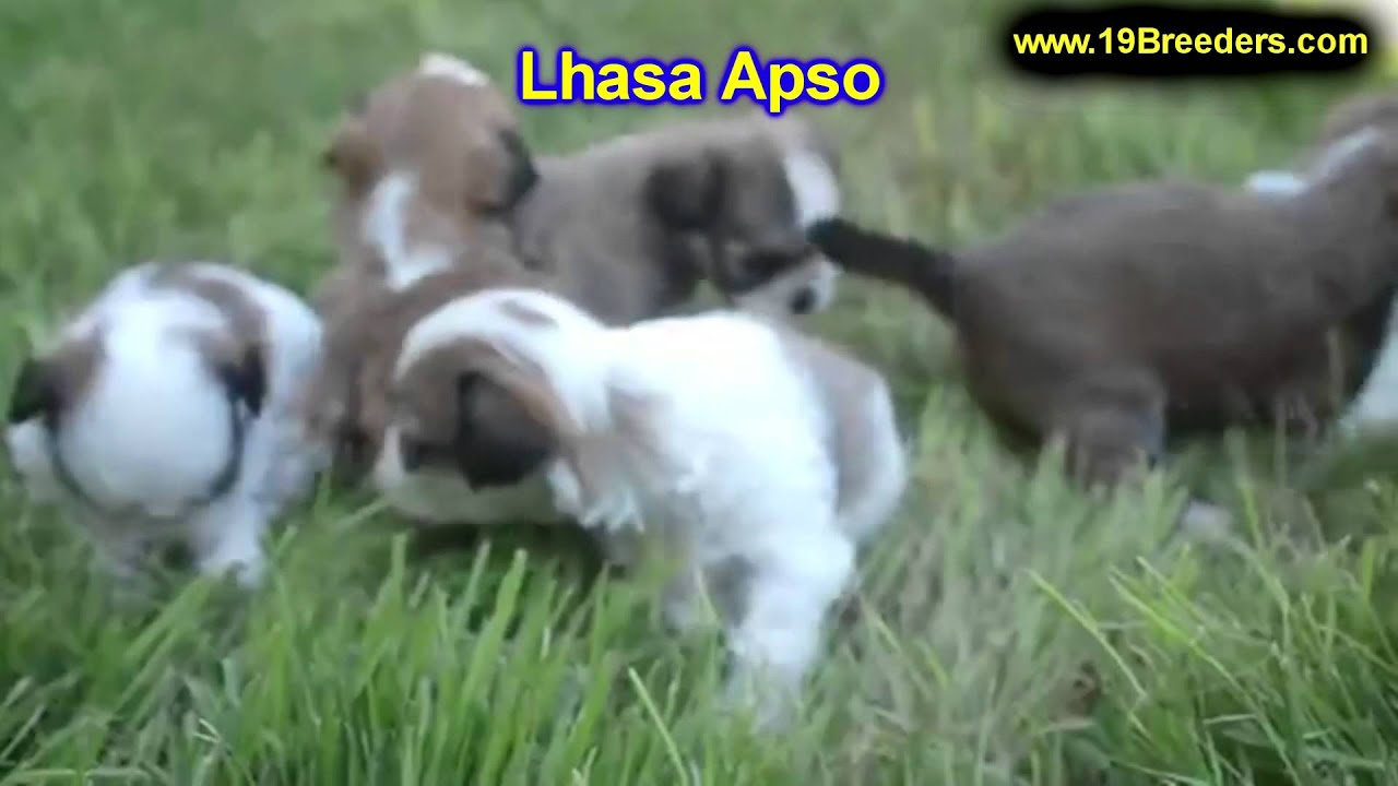 Lhasa Apso, Puppies, Dogs, For Sale, In Tucson, Arizona ...