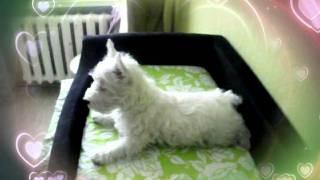 Вест Хайленд Вайт Терьер-щенок девочка на продажу