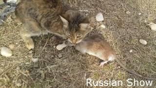 ЖЕСТКИЙ БОЙ кошка VS крыса