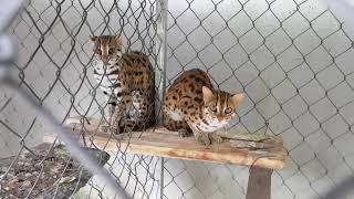 Mèo rừng mới bắt được, đẹp tuyệt.
