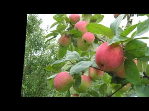 Как часто поливать яблоню