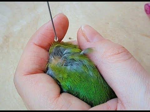 Обработка птиц от паразитов / профилактика трахейного клеща