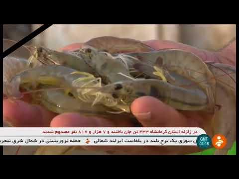Iran Organic Shrimp farming, Hormozgan province پرورش ميگو استان هرمزگان ايران