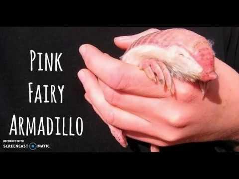 Pink fairy armadillo pet - photo#47