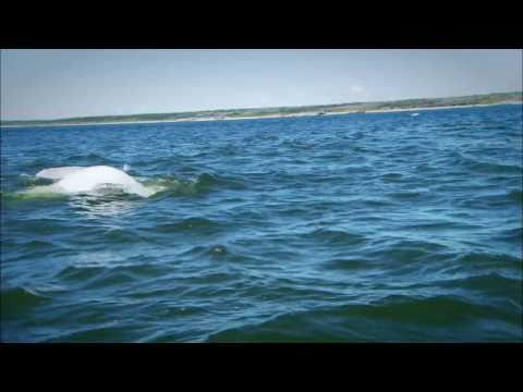 Swimming with Belugas in Churchill - Manitoba, Canada