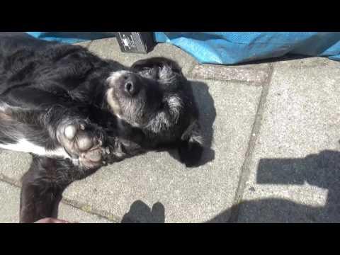 Odd (Spanish water) dog loves baking in the sun!