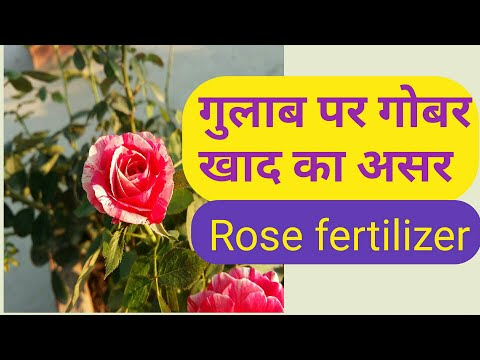 266# Effect of Gober khad in Rose plant || How to Fertilize Roses