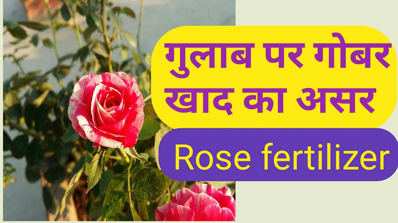 How to fertilize roses 70