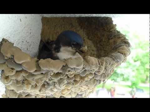 Delichon urbica - jaskółka buduje gniazdo