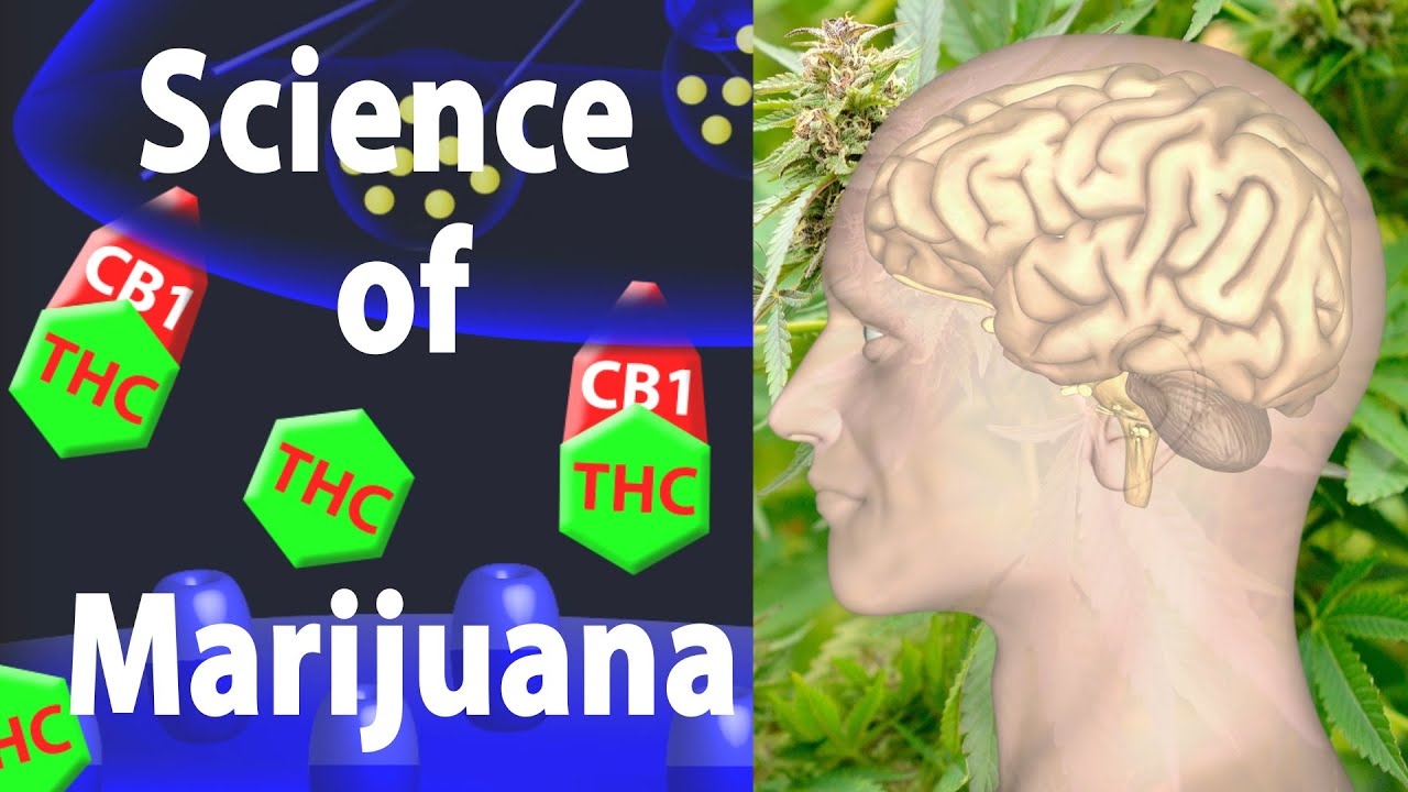 Marijuana Effects On The Brain The Goods And The Bads Animation