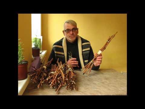 Как сохранить черенки винограда до весны в домашних