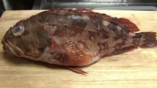 カサゴのさばき方~握りになるまでとあら汁の作り方 寿司屋の仕込み how to fillet amarbled rockfish  and make sushi
