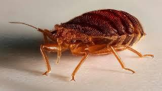 El Mejor Veneno Para Chinches ✪ Que Insecticida Mata Las Chinches De Cama