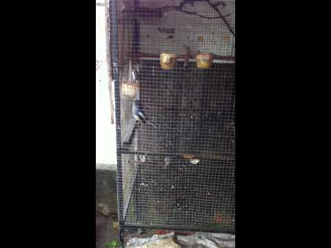 ban chich choe than hot mua, Bi  (Danang) 0935885650.MOV