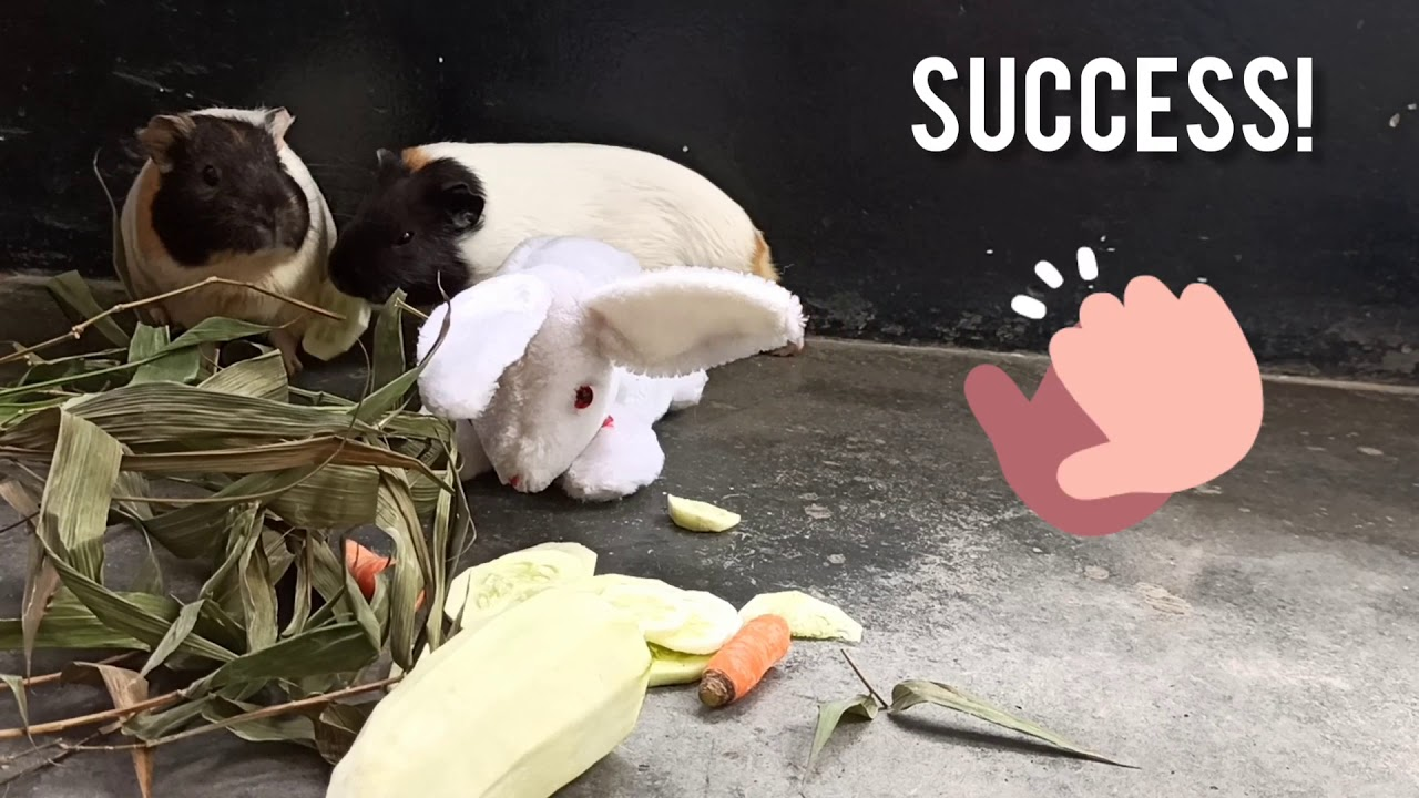 Guinea pigs reacts to rabbit (soft toy) stealing food and stealing it back | New BFF for my piggies