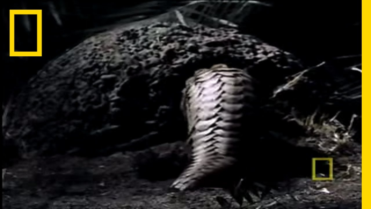 25 facts about pangolins