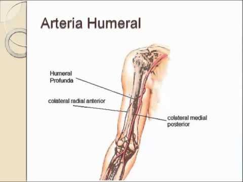 Arteria humeral - YouTube