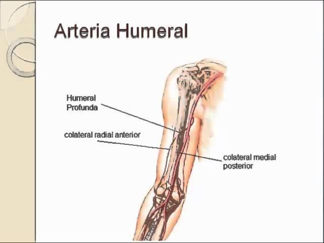 Arteria humeral - clipzui.com