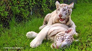 White Tiger Cubs at Kowiachobee Animal Preserve in Naples, Florida