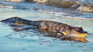 Gator spotted on beach near Galveston