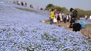 丘一面の青いじゅうたん=ひたち海浜公園ネモフィラ ネモフィラの丘 検索動画 3