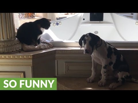 Great Dane puppy gets into trouble with angry cat