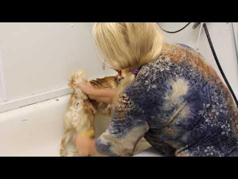 Shiba Inu Grooming Part 1