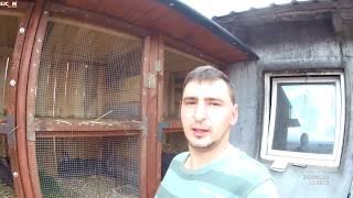 Vlog #75 Prezentacja mojej hodowli królików, Olbrzym belgijski :)
