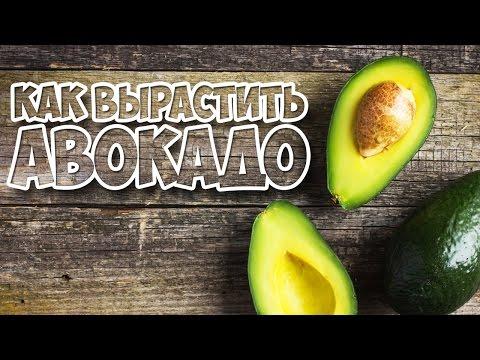 как вырастить авокадо из косточки проще простого