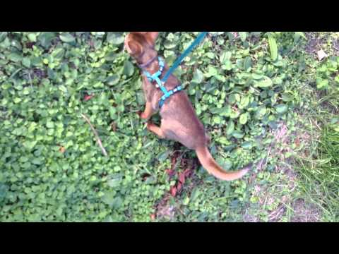 First walk with my cat. Abyssinian cat Nighty.