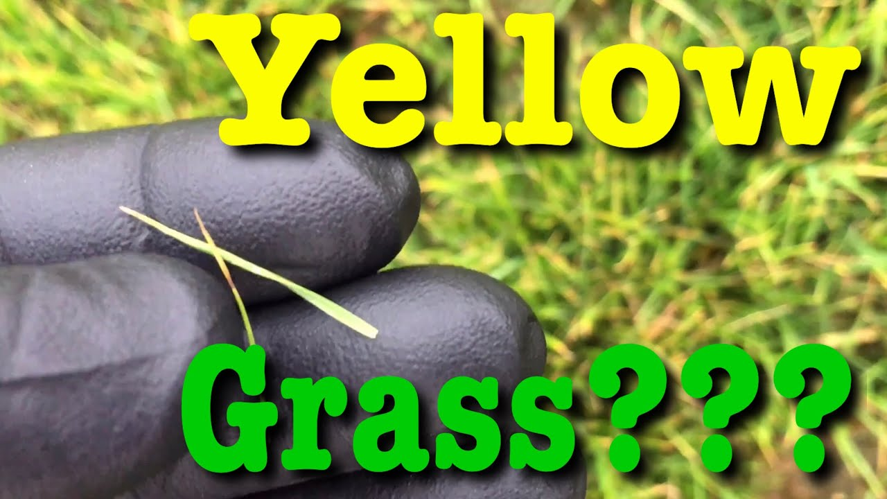 Grass Turning Yellow What To Do Youtube