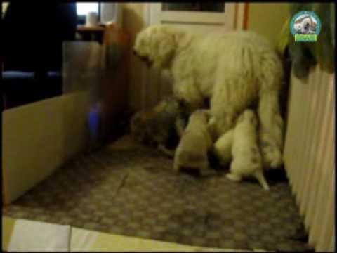 "Южнорусская овчарка - щенки ""CRIMEA AK-KAYA"""