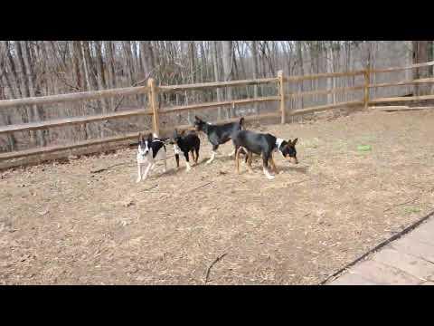 Rescue Pups - Decker Rat Terriers