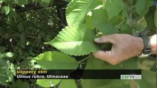 Trees with Don Leopold - slippery elm
