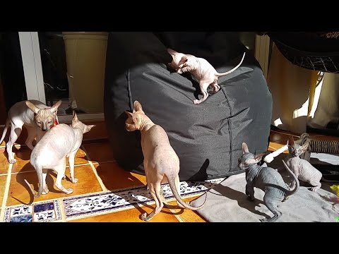 Sphynx cat mother, father & cute kittens playing / DonSphynx