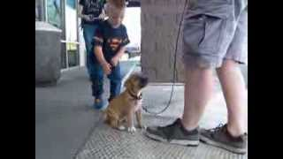 08.16.13 Boldog Nell Pit Bull Pup In Training (obedience)