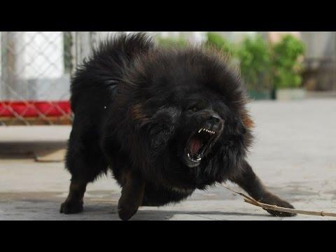 Tibetan Mastiff Giant King Lion Dog