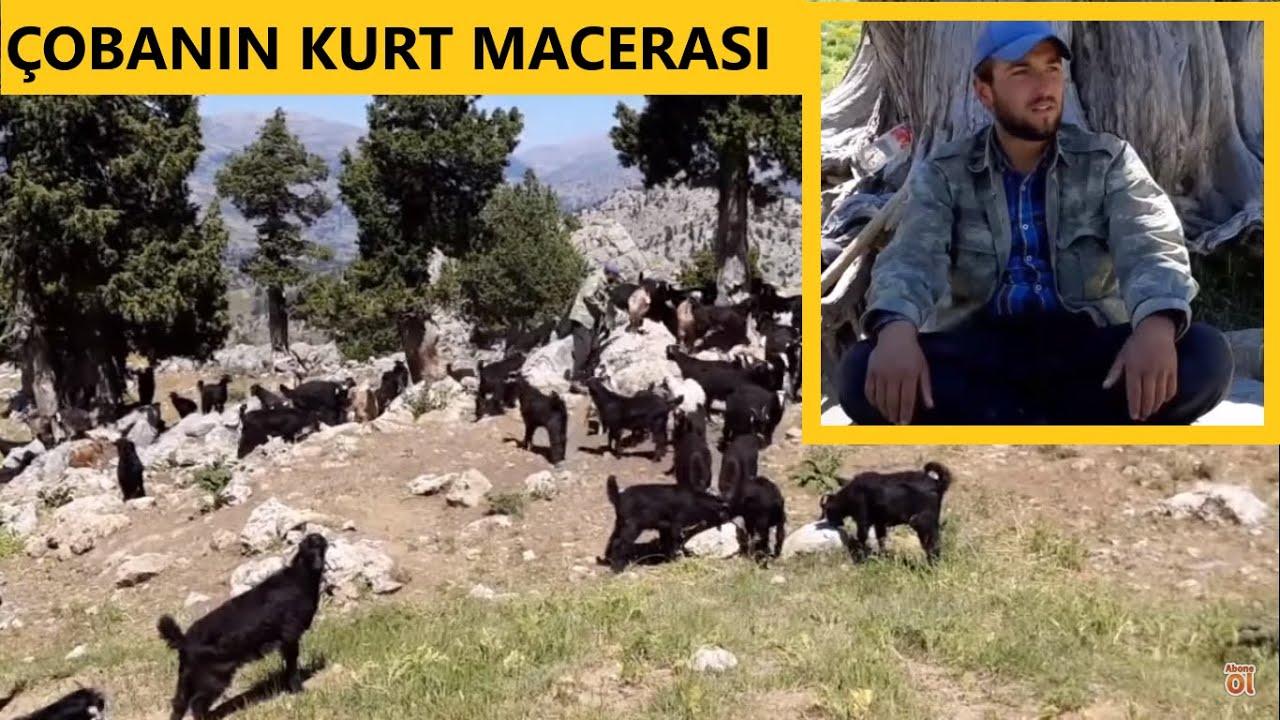 ÇOBAN YUNUSUN KURTLARLA MACERASI #kurt #köpek #çoban #kurtçulköpek
