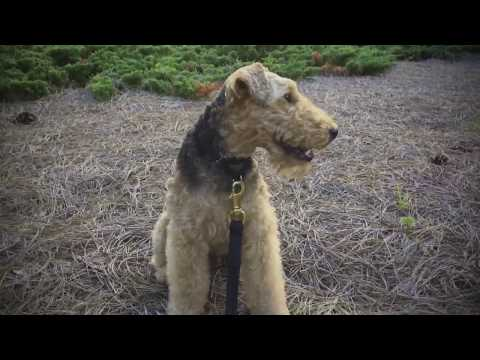 Welsh Terrier Dog - Well Behaved Pup From Raleigh, NC